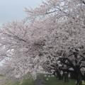 千本桜 1