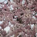 千歳桜 2