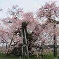 千歳桜 1