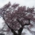 知恵桜 1