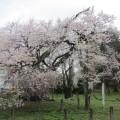 神代桜 1