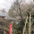 虎の尾桜 1