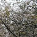 虎の尾桜 2