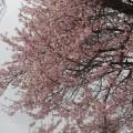 種蒔き桜 2