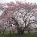 種蒔き桜 1