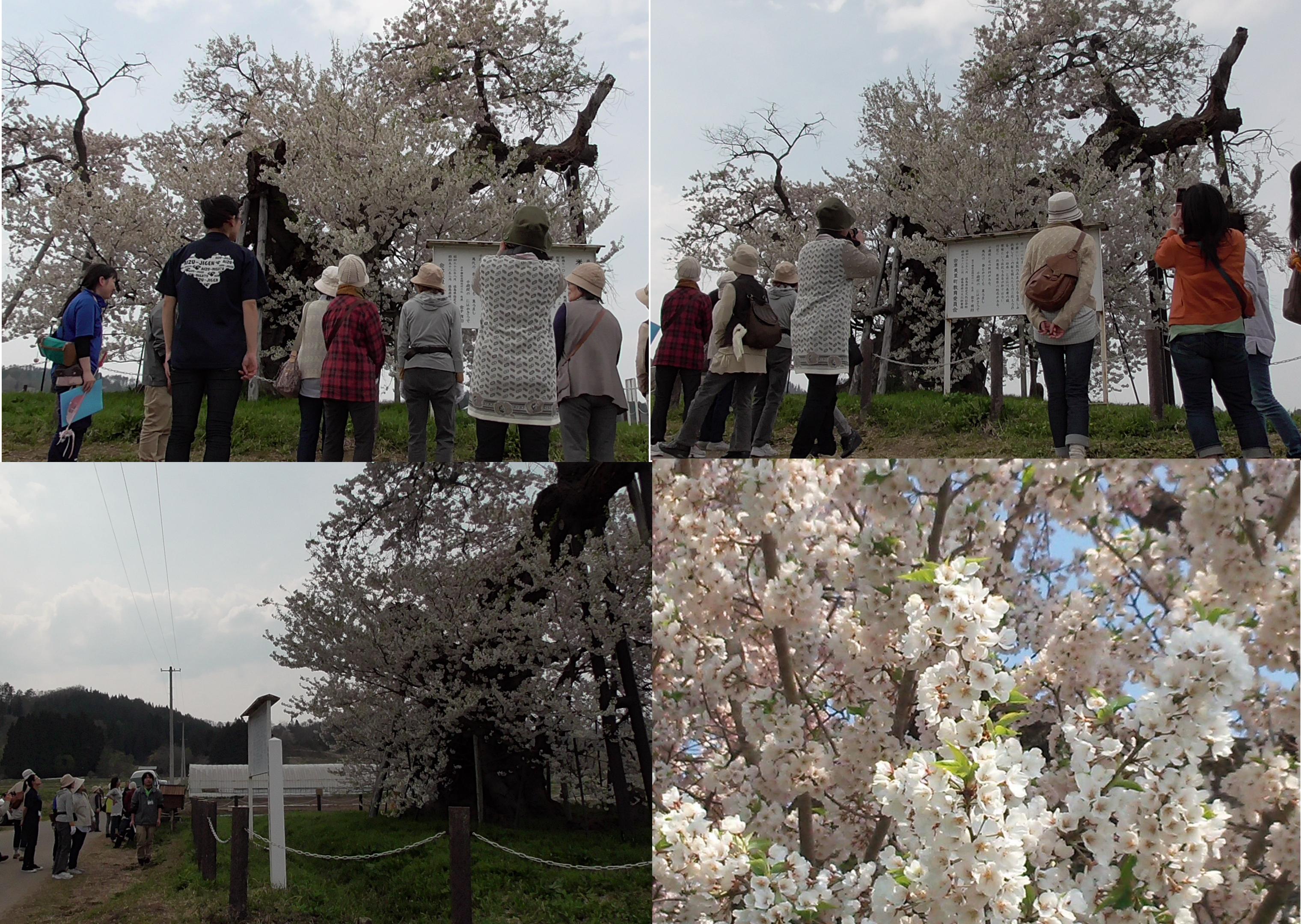 米沢 千歳桜