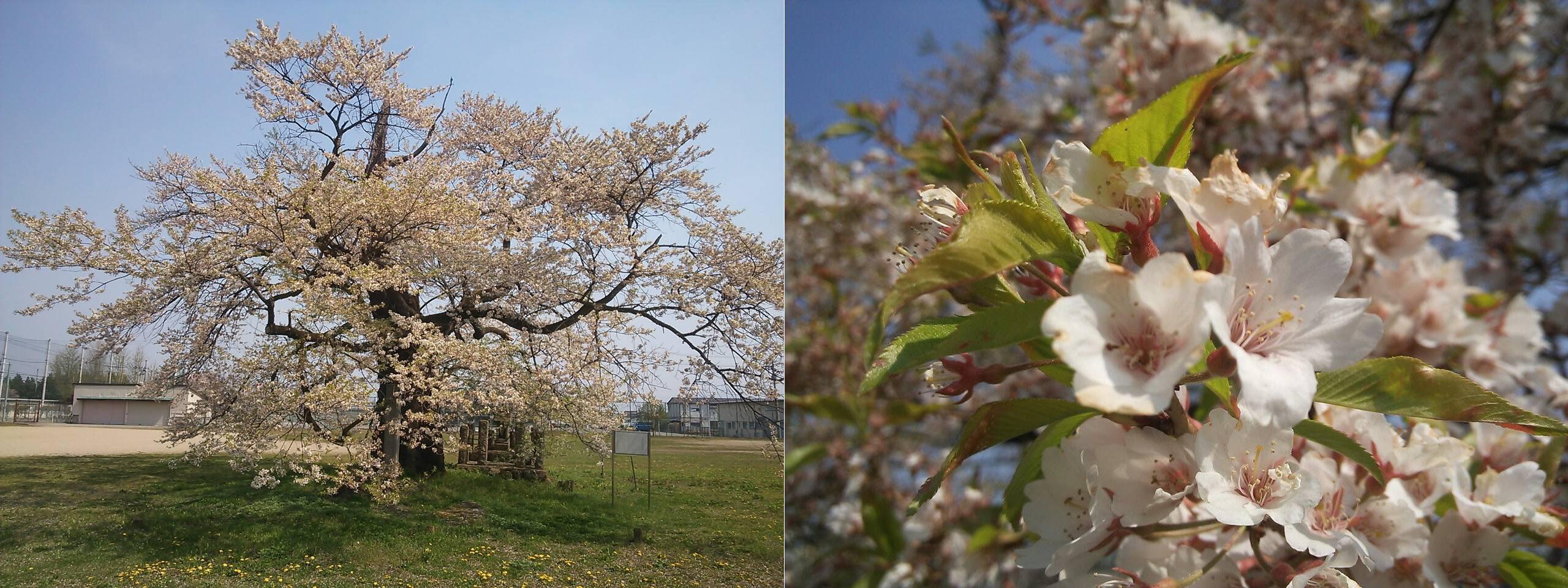 古御田の桜