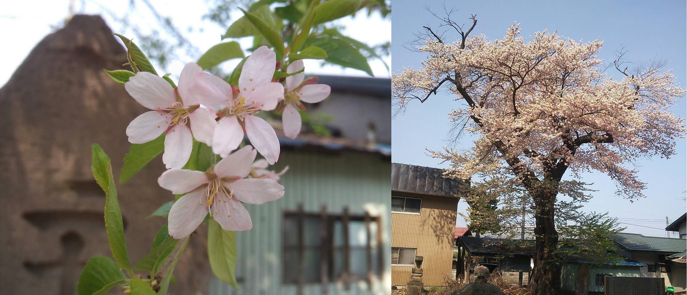 青龍寺文殊院 知恵桜