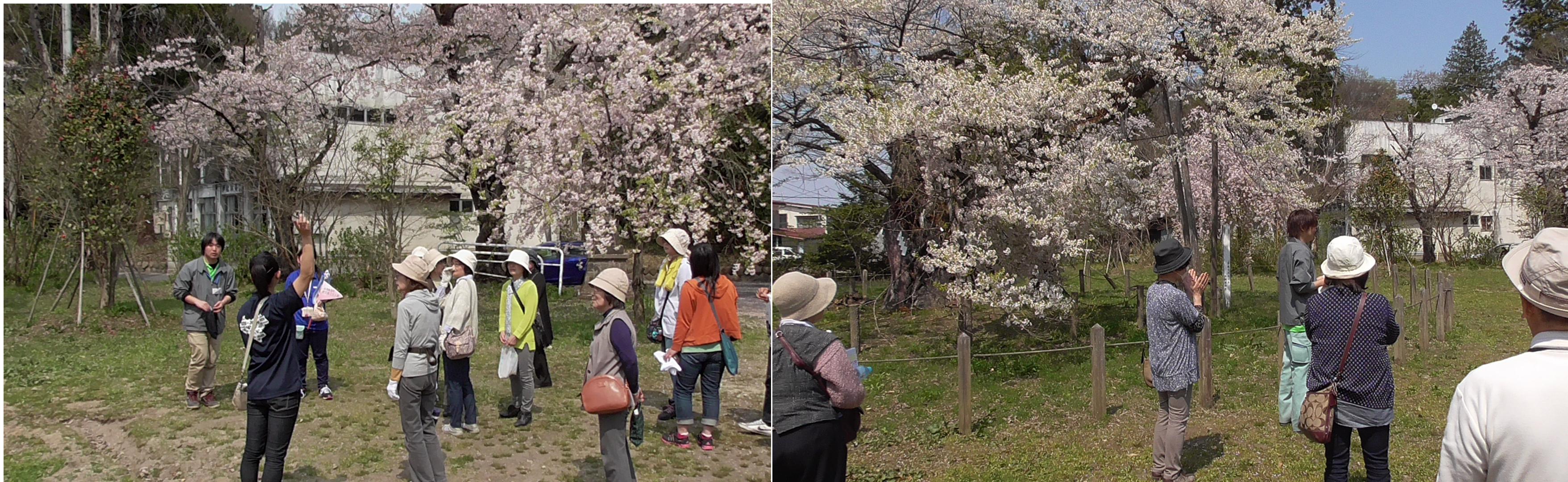 高天原 神代桜