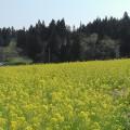 八木沢公園の菜の花