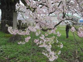 古御田の桜2