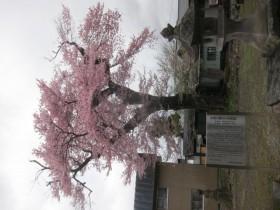 文殊院知恵桜