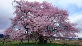 馬の墓種まき桜