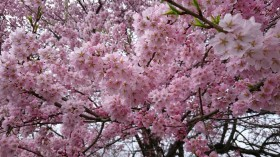 馬の墓種まき桜2